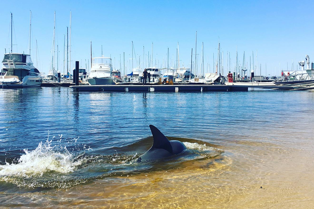 Bottlenose dolphins in the Swan River. Photograph by Ben Ansell/DBCA