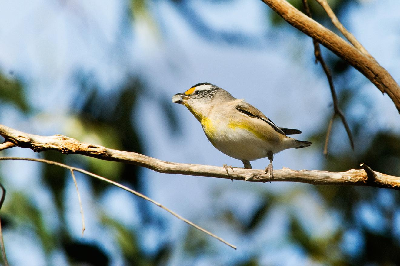 Striated pardalote spotted in Bold Park. Photo: B. Knott.