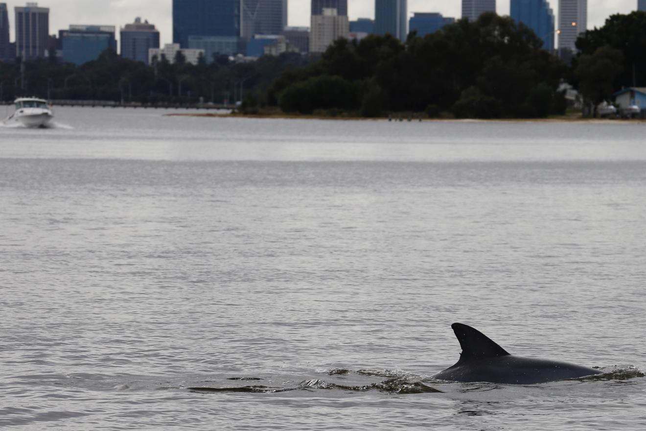 Dolphin in the Swan Canning Riverpark. Photo: Sue Harper