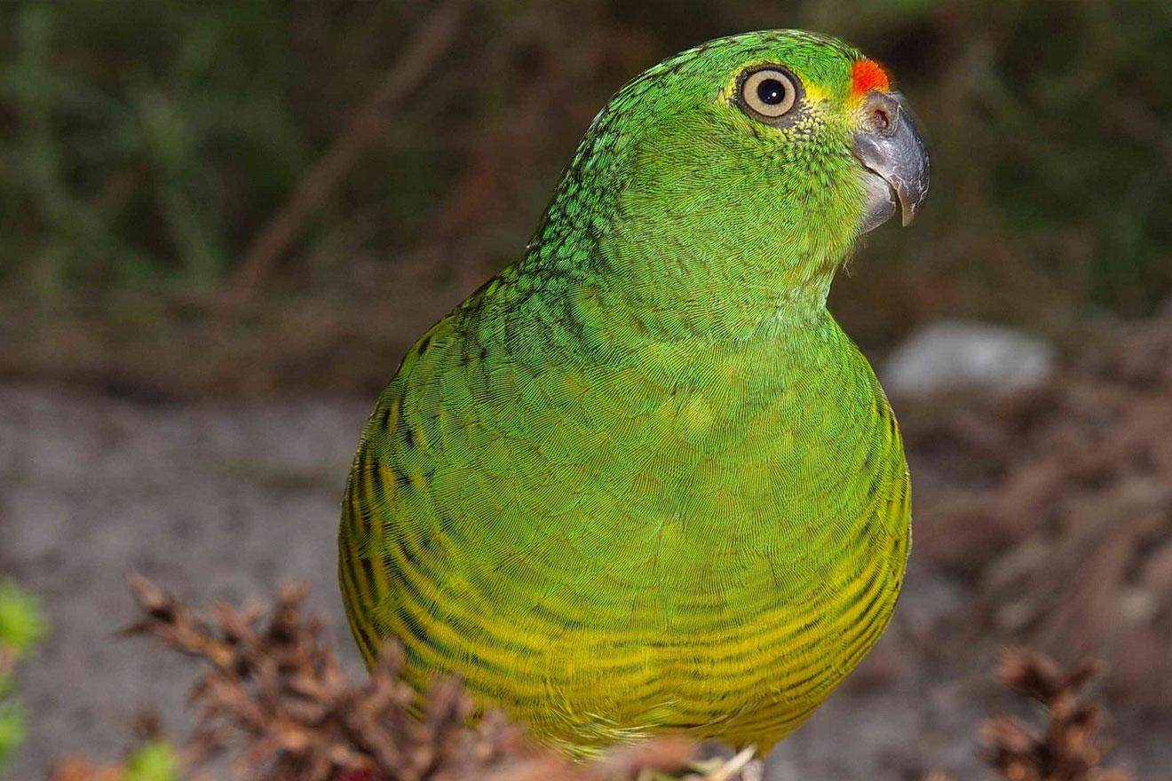 Western ground parrot (©2019 Alan Danks)