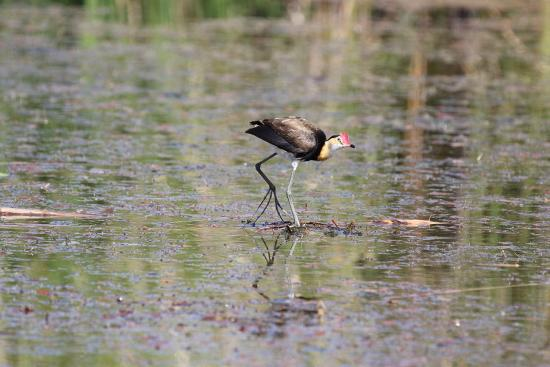 Comb-crested jacana. Photo by Judy Dunlop/DBCA